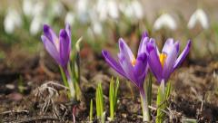 Snowdrop flowers and crocuses Stock Footage