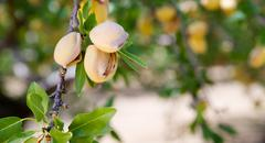Almond Nuts Tree Farm Agriculture Food Production Orchard California Stock Photos