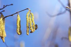 twig catkins pollination by bees - stock photo