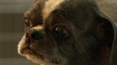 Dog eyes Stock Footage