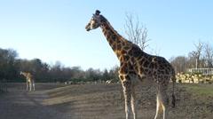 4k UHD eating Giraffes wild animals Africa safari beautiful national park - stock footage