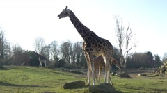 4k UHD baby Giraffe wild animals Africa safari beautiful national park - stock footage