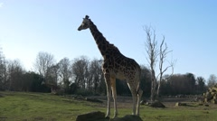 4k UHD amazing Giraffes wild animals Africa safari beautiful national park - stock footage