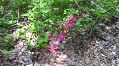Red poison oak in green foliage background V05741 Stock Footage