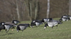 Barnacle Geese Grazing - Big Birds 4k Stock Footage