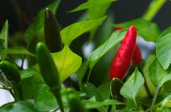 Bird's eye chili fruits - Capsicum frutescens Stock Photos