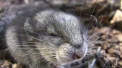 Baby Wood rat faceshot closeup squeaky vocalizations V05758 Stock Footage