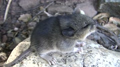 Stock Video Footage of Baby Wood rat closeup sideview on rock V05764