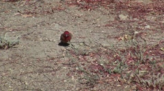 Red head male House Finch foraging in field V05980 - stock footage