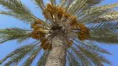 4k palm trees against blue sky dates fruit tree summer paradise background UHD Stock Footage