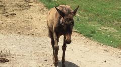 Mule Eating Twigs on Farm in Peru Stock Footage