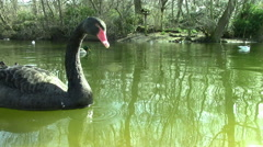 Two Black Swans Stock Footage
