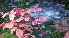 Poison Oak, nice foliage and water static Stock Footage