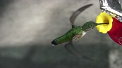 Allen's Hummingbird female at feeder shaded cool top view Stock Footage
