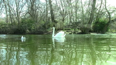 Swans Swim in St. James Park Lake Stock Footage