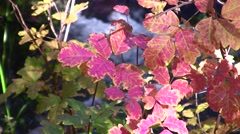Poison Oak red leaves water background static shot V06742 Stock Footage