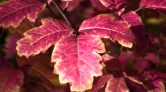 Poison Oak,red leaves zoomed static Stock Footage