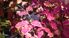 Poison Oak,red leaves and stream static Stock Footage