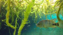 Maya cichlid underwater - stock footage