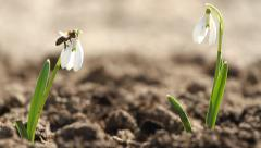 White snowdrop flowers and fly bee Stock Footage