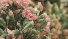 Stock video footage Dianthus Stock Footage