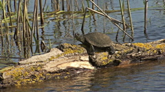 European pond turtle sitting on a trunk tree in water in marsh summer lake Stock Footage
