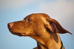 Vizsla Dog on a Windy Day - stock photo