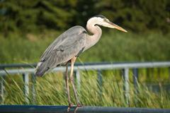 Great Blue Heron Perched on Metal Handrail - stock photo