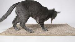 Young cat mouser plays with dead mouse at home Stock Footage