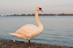 Mute Swan on a Beach in the Evening Stock Photos