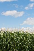 Corn Stalks Growing in a Field Stock Photos