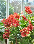 Kalanchoe in front of window pane Stock Photos