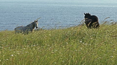 Horses grazing grass in green field. Sea coast and cliffs in background Stock Footage