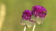 Close up of a Thistle flower, Landing honey bee Stock Footage