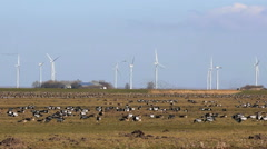Many geese together in the polder Stock Footage