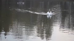 Swans afloat on Autumn Lake Stock Footage