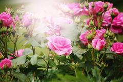 Beautiful pink roses in sun light - stock photo