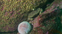 brown crab crevice - stock footage