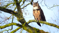 Eurasian eagle-owl (Bubo bubo) sitting on a roof and in a tree Stock Footage
