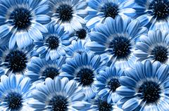 Blue background created from daisy flower bloom - stock photo