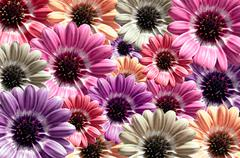 Purple, pink background created from daisy flower bloom - stock illustration