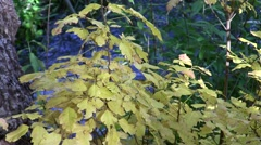 Poison Oak,yellow foliage and stream static Stock Footage