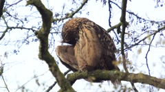 Eurasian eagle-owl (Bubo bubo) cleaning its feathers Stock Footage