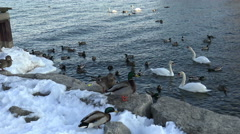 Waterbirds of Lake Ontario in winter, 4k wildlife footage - stock footage