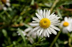 Shasta Daisies Stock Photos