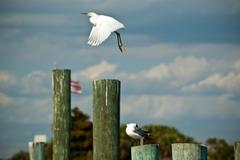 Snowy Egret Take-off from Florida Pier - stock photo
