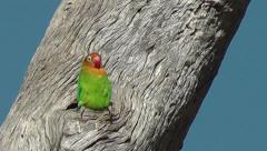 Lillian's Lovebird sitting outside its nest hole on a tree stump Stock Footage