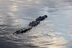 Crocodile Swimming at Surface - stock photo