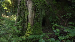 Pacific Northwest Moss Covered Tree Stock Footage