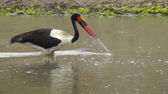 Male Saddle-billed Stork fishing by repeatedly dipping its beak into the water Stock Footage